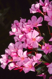 Oleander was widely planted around homesteads to add some colour to what the early settlers perceived as a drab Australian landscape. It was lethal if eaten by livestock.